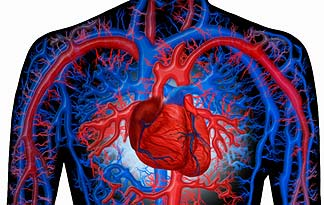 The Circulatory System Herbs Amp More Herbs Amp More